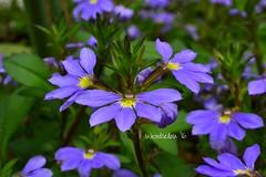 (wickedhair) Tags: wickedhair wendielou flower fleurs flowers d7000 sandiego california color coast blue red yellow nikon nature landscape landscapes petals green macro