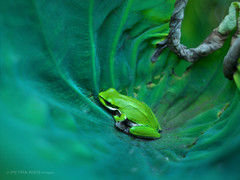 Frog hiding in a Lotus leaf (Petra Ries Images) Tags: kodakcineektanon102mmf27 frog frosch green grün lotos lotosblume lotus flower reptile reptil