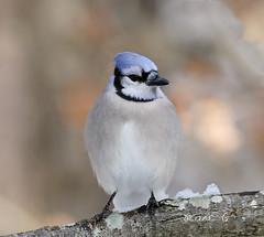 Blue Jay   46 (Diane G. Zooms---Mostly Off) Tags: bluejay jays wildbirds winterbluejay dianegiurcophotography longislandbirds birdsoflongisland naturethroughthelens specanimal