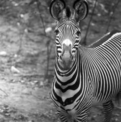 103659 09 (ndpa / s. lundeen, archivist) Tags: nick dewolf nickdewolf october bw blackwhite photographbynickdewolf 1959 1950s film 6x6 mediumformat monochrome blackandwhite chicago illinois suburbs brookfield zoo brookfieldzoo animal suburbanchicago chicagoland stripes striped zebra face portrait ears roundears