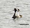 Great Crested Grebe (Alanchippyh) Tags: bird birds waterreflections sunlight black white orangebrown gray sony77ii outdoors animals outdoor