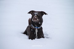 My happy dog Srećko (malioli) Tags: dog pat animal winter snow play cold canon karlovac croatia hrvatska