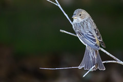 House Finch (TimHerbert) Tags: bird housefinch finch texas