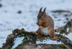 Red Squirel (mariajames414) Tags: animal outdoor squirel red snow