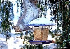 An Embarrassing Moment for Reginald T. Squirrel (--Anne--) Tags: squirrel easterngraysquirrel gray squirrels bird feeder winter feeding stealing raiding cute funny animal wildlife