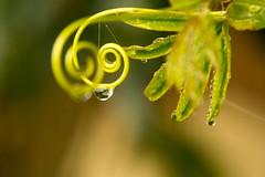 echo (phacelias) Tags: passiflora passiebloem passionflower morning dawn dauw dew rugiada