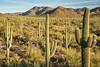 Saguaro National Park, AZ (imageseekertoo (Wendy Elliott)) Tags: arizona saguaronationalpark tucson tucsonmountains usnationalparks desert nationalpark saguarocactus sonorandesert wendyelliott wendyelliottphotography wintertrip2016to2017