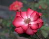 Rose Red. (Omygodtom) Tags: detail dof d7100 selectivefocus red rose flickr flower digital dimond star diamond outdoors tamron90mm tamron nature nikon f28