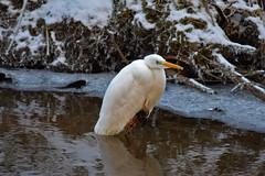 Silberreiher (Wolfgang's digital photography) Tags: reiher silberreiher natur naturschutz weiss wasser eis schnee winter nikond5300