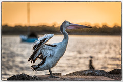 In a flap (Chas56) Tags: sunset pelican beach birdlife bird fauna waterbirds waterbird werribeeriver canon canon5dmkiii seaside seascape wildlife ngc wings feathers