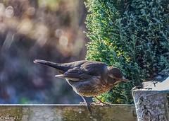 Une visite inatendue... (Crilion43) Tags: arbres france véreaux divers grive réflex nature paysage jardin centre oiseaux canon objectif tamron 1200d cher bleue brouillard charbonnière herbe mésange sapin thuya