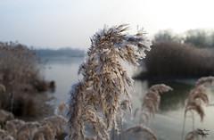 Roseaux givré (Xav photography) Tags: roseaux givre hiver nature plantes lac miseaupointauto reeds frosted winter plants lake autofocus nikon d40x