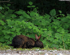20150705_25 Almost black European rabbit (Oryctolagus cuniculus) | Holmhällar, Gotland, Sweden (ratexla) Tags: ratexla'sgotlandtrip2015 nonhumananimal gotland 5jul2015 2015 canonpowershotsx50hs holmhällar sweden sverige scandinavia scandinavian europe beautiful earth tellus photophotospicturepicturesimageimagesfotofotonbildbilder europaeuropean summer travel travelling traveling norden nordiccountries roadtrip journey vacation holiday semester resaresor nature rabbit rabbits oryctolaguscuniculus wild vild vilda wildlife vildkanin vildkaniner kanin kaniner djur nonhumananimals animal animals cute cool organism life biology zoology ontheroad sommar black dark svart melanistic melanism favorite