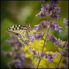 Papilio machaon (Schwalbenschwanz) (Der Zeit die Augenblicke stehlen) Tags: blumenundpflanzen deutschland eos700d fokussiert hth56 papiliomachaon schmetterling sommer thomashesse tierwelt butterfly schwalbenschwanz