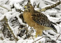 snow day! (Christian Hunold) Tags: redshoulderedhawk buteolineatus hawk raptor birdofprey bird rotschulterbussard snow winter johnheinznwr philadelphia