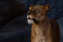 Proud Queen (Nikonphotography D750) Tags: explore inexplore tierparkhagenbeck tier tierpark zoo hagenbeck nikon nikond750 nikonphotography hamburg igershamburg farben colors hagenbeckstierpark löwe löwin lion