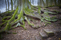 step aside (Aspenlaub (blattboldt)) Tags: baum tree arbre árbol treetrunk troncd´arbre troncodeárbol troncodalbero roots wurzeln green grün verde vert stufen steps 根 樹根 ツリー sony sonyilce7sm2 alpha7sii zeiss loxia250 loxia50mmf20 nature emount wald woods gera thuringiagermany ⚶ topographic specialthankstochristophecasenaveandhisteamfromzeissfortheirpersonalinvolvementinthedevelopmentoftheloxialensline