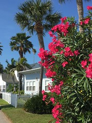Pass-a-Grille in bloom (st_asaph) Tags: stpetebeach sunshinecoast tampabay pinellas passagrille oleander