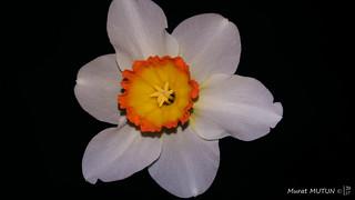 Nergis - Daffodil
