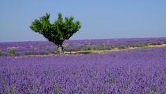 Tout seul *-* (Titole) Tags: sky tree field lavender bluesky lavande arbre singletree friendlychallenges storybookwinner titole nicolefaton