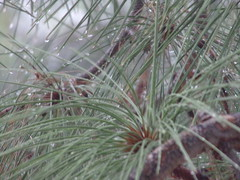 raindrops on the pine tree (just me julie) Tags: arizona tree rain pinetree pine az raindrops tempe
