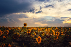 Stormy day | Explored on 09.10.15 | Thank you all! (Pásztor András) Tags: sunset storm flower nature field weather clouds landscape photography nikon colorful sunflower 1870mm andrás pásztor d5100
