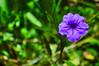 DSC_0159 (kenken.marilag) Tags: flower cow rice philippines farming nueva baka palay ecija lupao