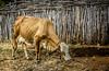 VACA (aislanlima) Tags: animal brasil foto creme capim ceará cerca alta fotografia animais madeira mato hdr vaca amarela sertão vaquinha comendo definição