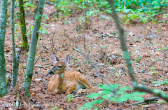 Fawn watching mom close by (AndiVanPhotog) Tags: nature georgia photography nikon hiking trails deer fawn winston 105mm nikond300s clintonnaturepreserves
