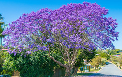 australian jacaranda (rod marshall) Tags: blossom jacaranda jacarandatree tweedjacaranda