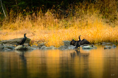 Commorants on dry (Troutfisher266) Tags: morning autumn nature water colors norway reflections river wings nikon no care trondheim srtrndelag commorant morningcare