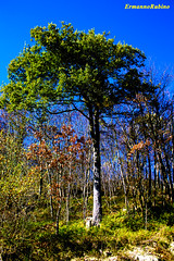 Saliceto (ermy70) Tags: tree albero arbre granda bosco langa quercia viadelsale sughero ghianda viedelsale saliceto provinciagranda camerana altalanga