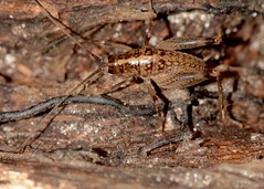 space invader? (laurie_frisch) Tags: park family heritage bug insect woods natural insects iowa marion bugs cricket camel habitat crickets rhaphidophoridae