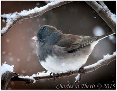 Snowflakes and Juncos (ctofcsco) Tags: 11250 100400mm 2015 400mm 56 50d bird black brown canon colorado coloradosprings darkeyedjunco ef100400mmf4556lisusm eos eos50d explore explored gray junco bokeh geo:lat=3893083779 geo:lon=10489145279 geotagged gleneyrie nature northamerica telephoto wildlife slatecolored unitedstates usa white winter outdoor animal topawardersl1 best wonderful perfect fabulous great photo pic picture image photograph