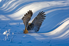 Great Grey (Peter Stahl Photography) Tags: winter snow greatgreyowl alberta owl greatgrey greatgrayowls