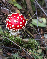 Red Head (JKmedia) Tags: autumn detail macro green texture nature mushroom grass closeup canon moss woods pattern veil decay caps fungi growth spots fungus toadstool produce mycology slimy endofseason flyagaric southdevon amanitamuscara ef100mmf28lmacroisusm boultonphotography