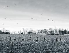 DSC_8653-2 (louis_mancuso) Tags: winter sunset field geese twilight corn cornfield pennsylvania farm goose pa newtown goldenhour yardley newtownpa flyingsouth newtownpennsylvania geeseflyingsouth shadybrookfarm yardleypa yardleypennsylvania winter2015 shadybrookfarmyardleypa shadybrookfarmyardley gooseflyingsouth