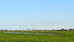 Galahs and pivot irrigator, green wheat crop, Mallee (malleefarmscapes) Tags: rural farm wheat centre country farming australian australia victoria crop birdsinflight agriculture pivot greenfield australianlandscape irrigation landcape mallee galahs galah irrigator australianfauna rosebreastedcockatoo nikond5200