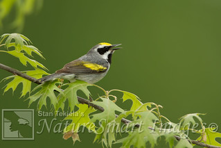 Golden-winged Warbler male Tekiela TAN1882