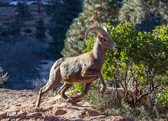 Ram on the Run (Dave Toussaint (www.photographersnature.com)) Tags: travel wild usa southwest nature animal photoshop canon landscape utah photo interestingness google interesting ut raw photographer sheep image scenic picture clarity september explore cc adobe lamb getty bighorn horn zionnationalpark ram mutton adjust 2015 denoise 60d topazlabs photographersnaturecom davetoussaint creativecloud