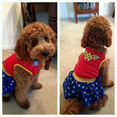 wonder-doodle--miss-lucy-can-pull-off-that-claim-_10630245903_o