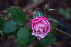 A Pink Rose after Rain, Oakland, California, USA (takasphoto.com) Tags: angiosperms aqua bloom blossom blüte color drop droplet drops flor flower floweringplant green greenplants hoa kingdomplantae nature outdoor pink plantae precipitation rain regen rosa rose vasser verde water waterdrop waterdrops xochitl água цветок פרח زهرة مطر گل वर्षा ดอก みどり バラ ピンク 有花植物 桃色 植物 水 滴 緑 緑色 翠 自然 花 花卉 薔薇 被子植物 雨 雫