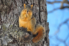 dining al fresco (christiaan_25) Tags: squirrel easternfoxsquirrel foxsquirrel sciurusniger treesquirrel rodent mammal animal fur furry fuzzy brown head eyes stare acorn feet paws tree limb branch snow nature sky blue woods forest wildlife outside outdoor outdoors