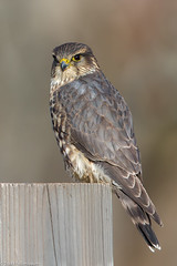 BJ8A8404-Merlin (tfells) Tags: bird nature falcon merlin rosedale park mercer nj new jersey