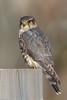 BJ8A8404-Merlin (tfells) Tags: bird nature falcon merlin rosedale park mercer nj new jersey