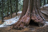 Redwood Dusting (Kurt Lawson) Tags: bark california canyon forest giant green kings kingscanyon national nationalpark park red sequoia sierra sierranevada snow tree trees wet