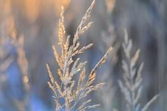 Weeds (Bilderwense) Tags: natur nature colors colours colorful colourful green dof shallow depth depthoffield tiefenunschärfe tiefenschärfe outdoor nikkor 50mm f18 nikon d5000 bokehrama bokeh smooth soft bokehlicious makro macro macrodreams macromonday schärfentiefe pflanze verschwommen blüte macromondays serene gras vignetting trail weed grass heiter weeds