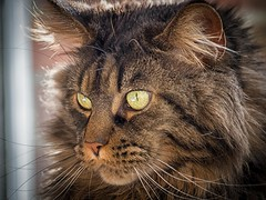 Portrait of Sunny (ParadoX_Design) Tags: maine coon cat breed pedigree pet huisdier furry whiskers nose eyes yellow green cute adorable cuddle animal feline puss kitty