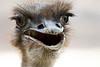 Foto-0750-3 (R.Concon) Tags: avestruz ave