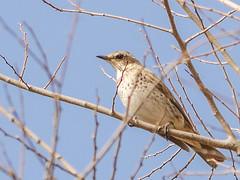 161211_GX7_1450966 (kuad9) Tags: bird